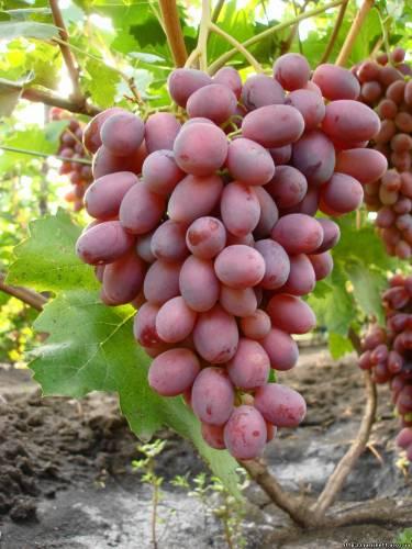 Фото. Виноград. Ризамат.