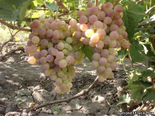 нимранг виноград фото